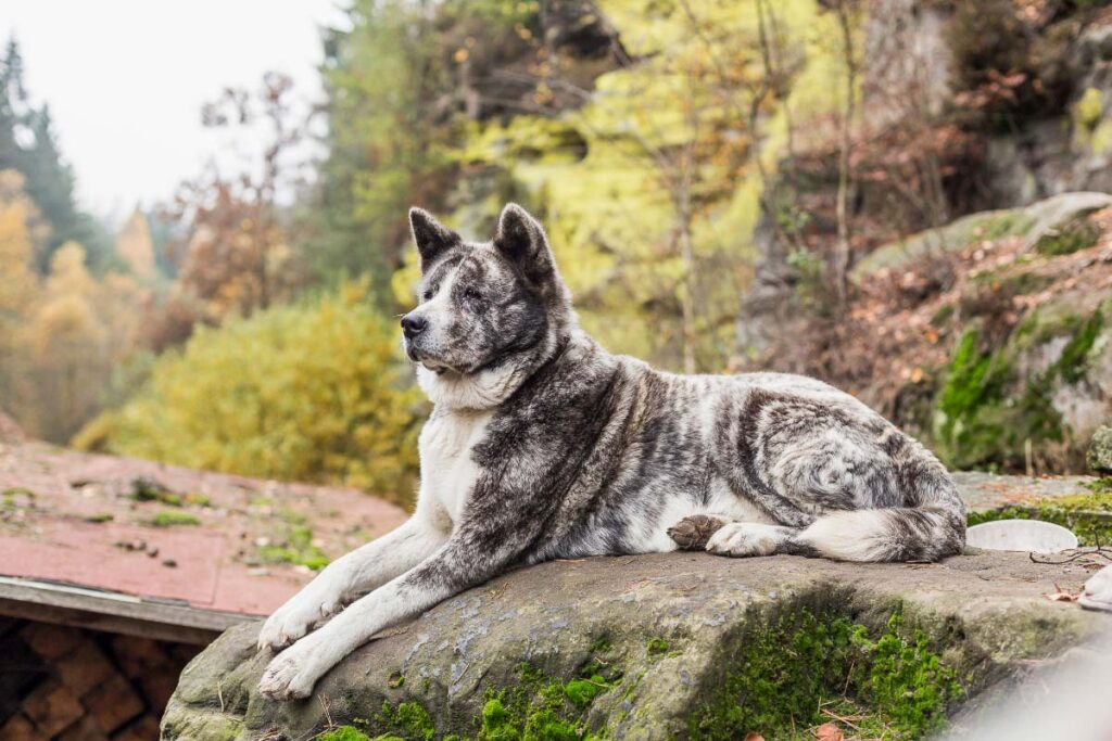 Akita Inu big fluffy dog breeds
