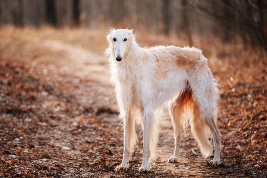 Borzoi dog white