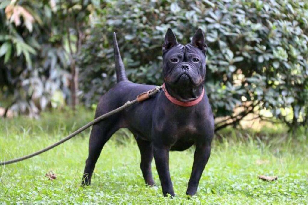 Chinese Chongqing Dog Hündin