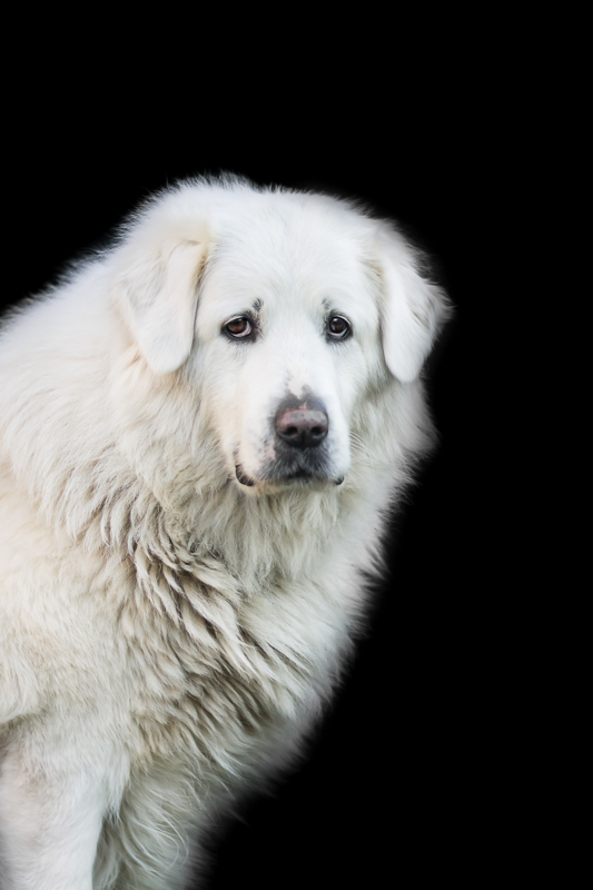 Cuvac dog white