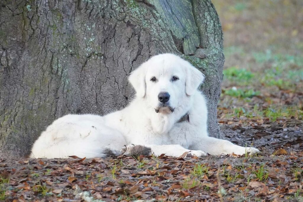 Great Pyrenees big white dog breed