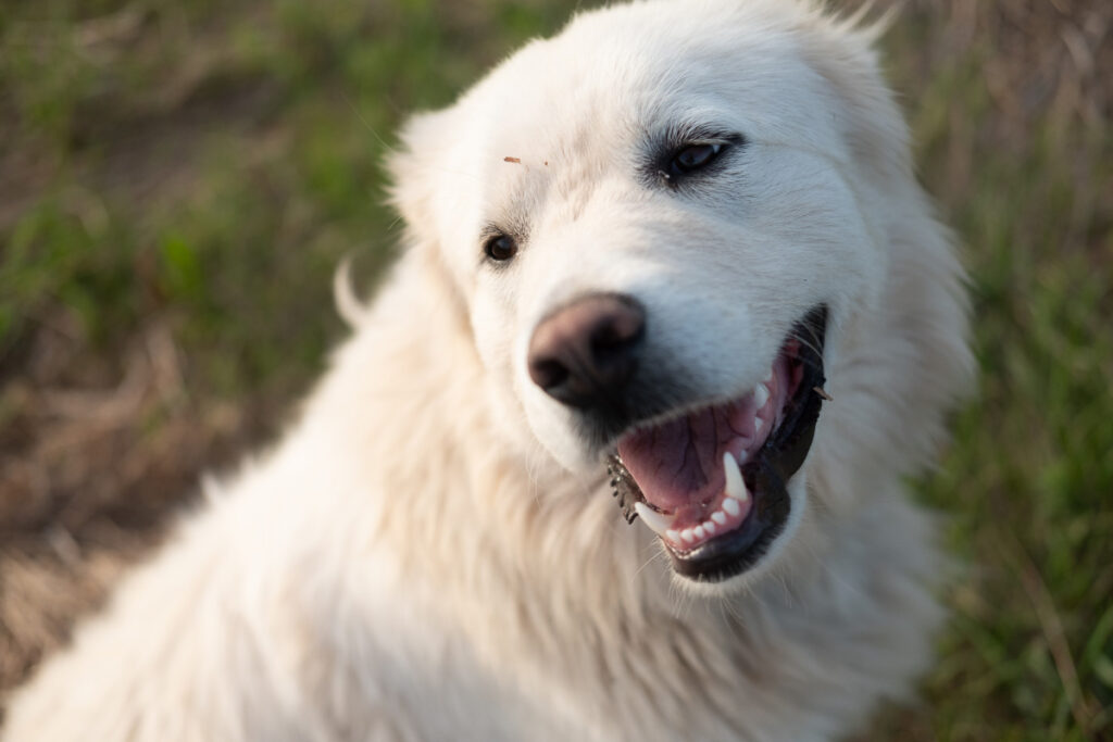 Great Pyrenees white