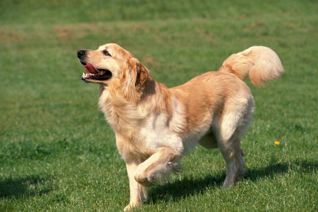 Hovawart dog golden