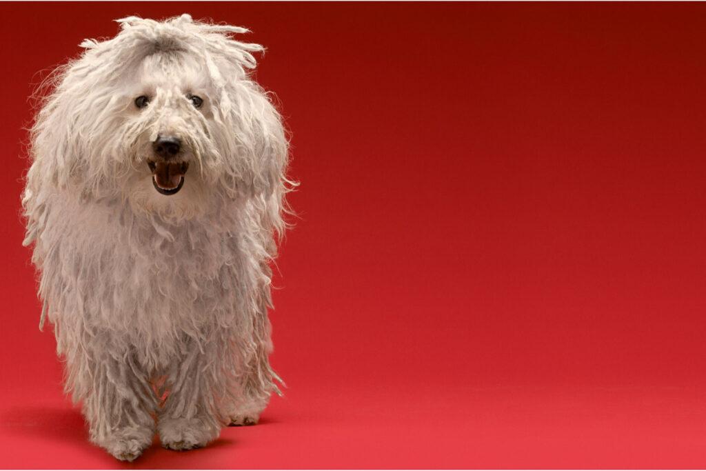 Hungarian Sheepdog big white dog breed