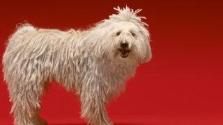 Komondor dog white