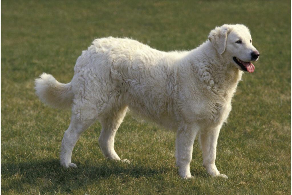 Kuvasz big white dog breed