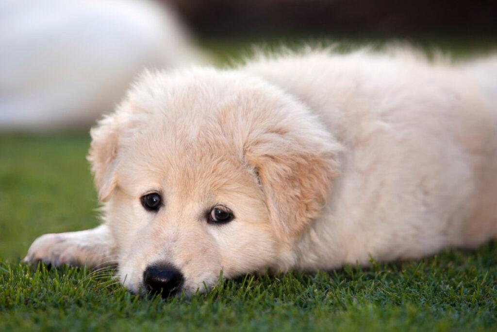 Maremma Sheepdog white dog breed