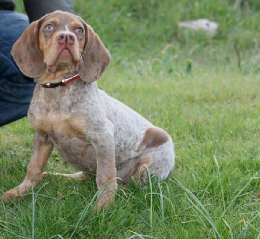 Pachón Navarro spotted dog breeds