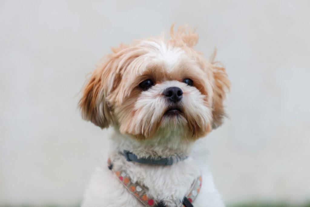 Shih Tzu white and brown dog