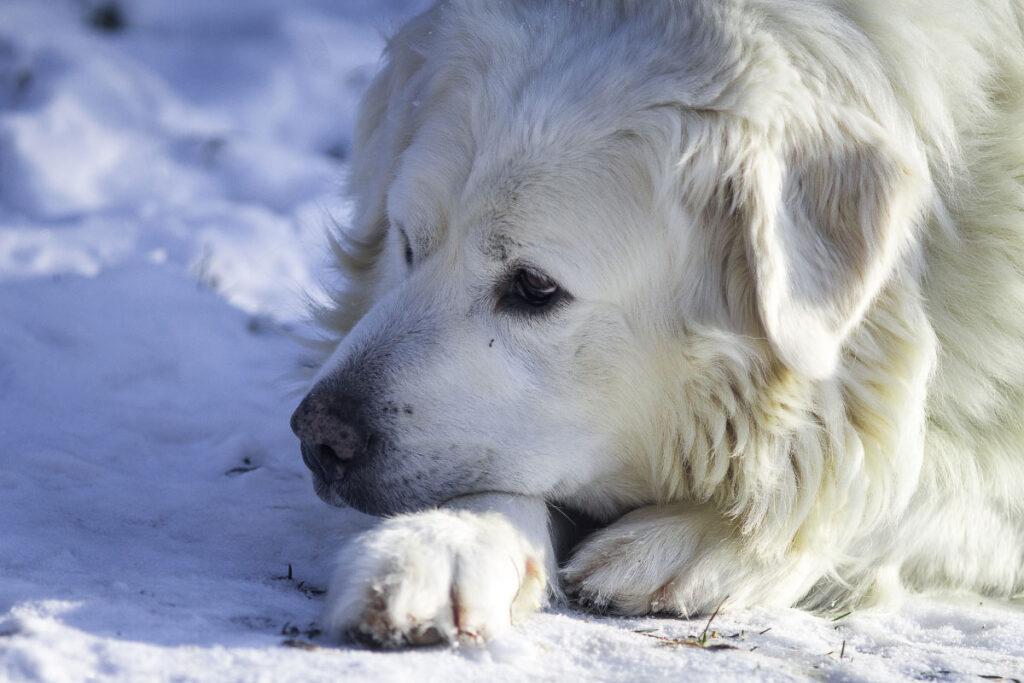 Slovensky Cuvac white dog