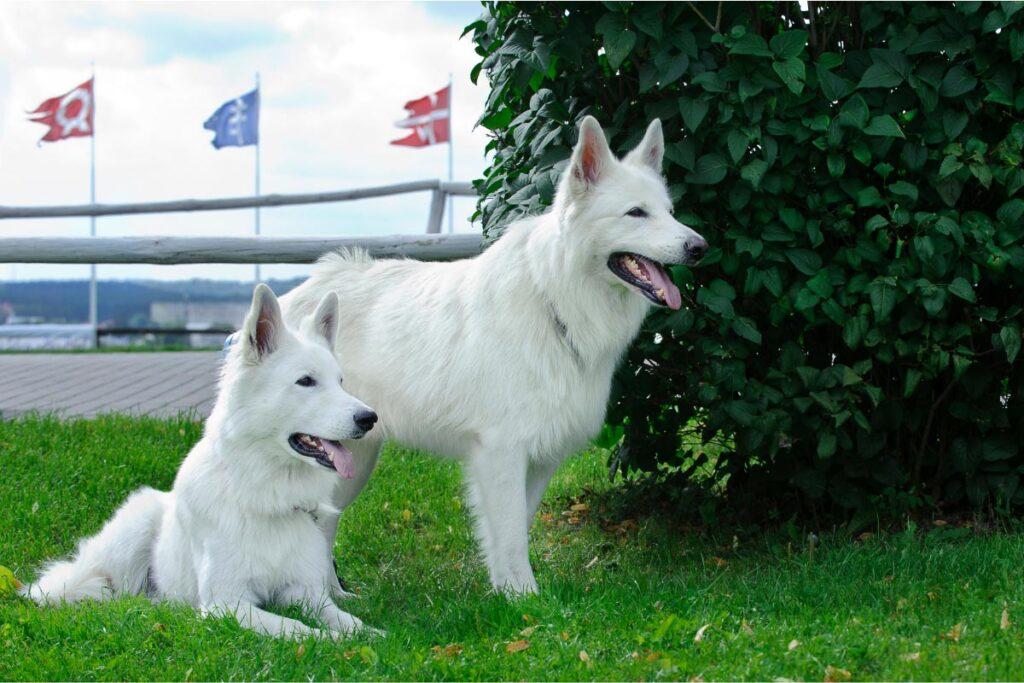 Swiss Shepherd Dogs white