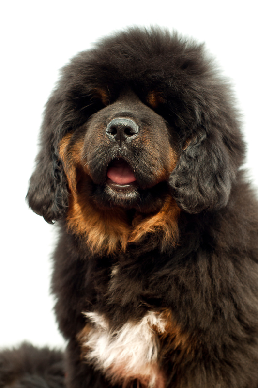 Tibetan Mastiff black