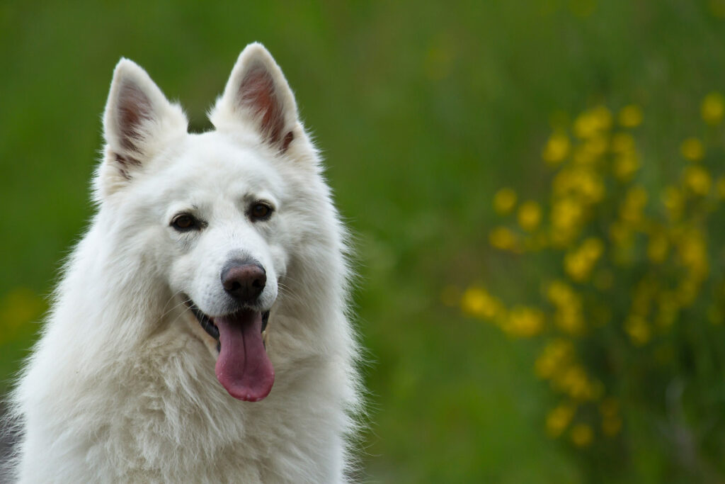 Ukrainian Shepherd white dog