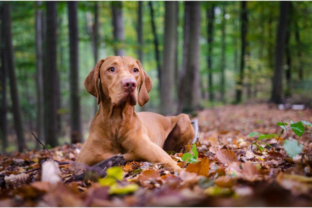 Vizsla hungarian dog