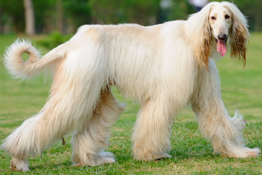 afghan hound dog white