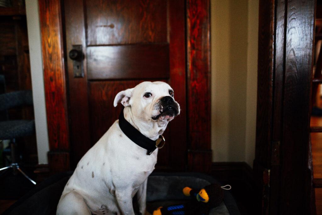 american bulldog white