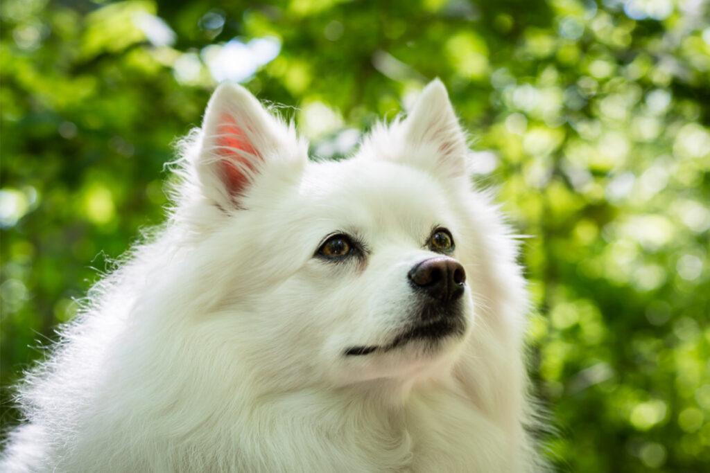 american eskimo dog white