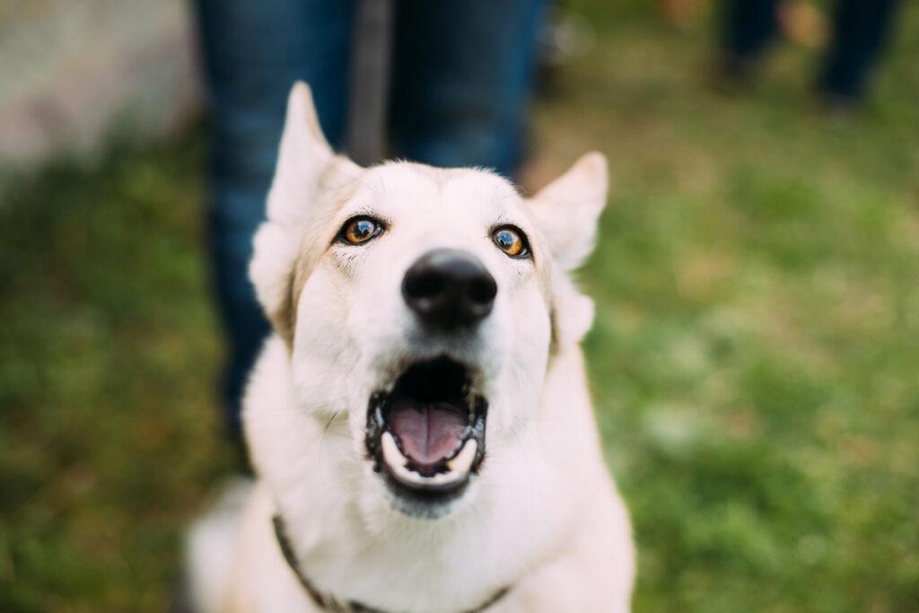 big white dog barking