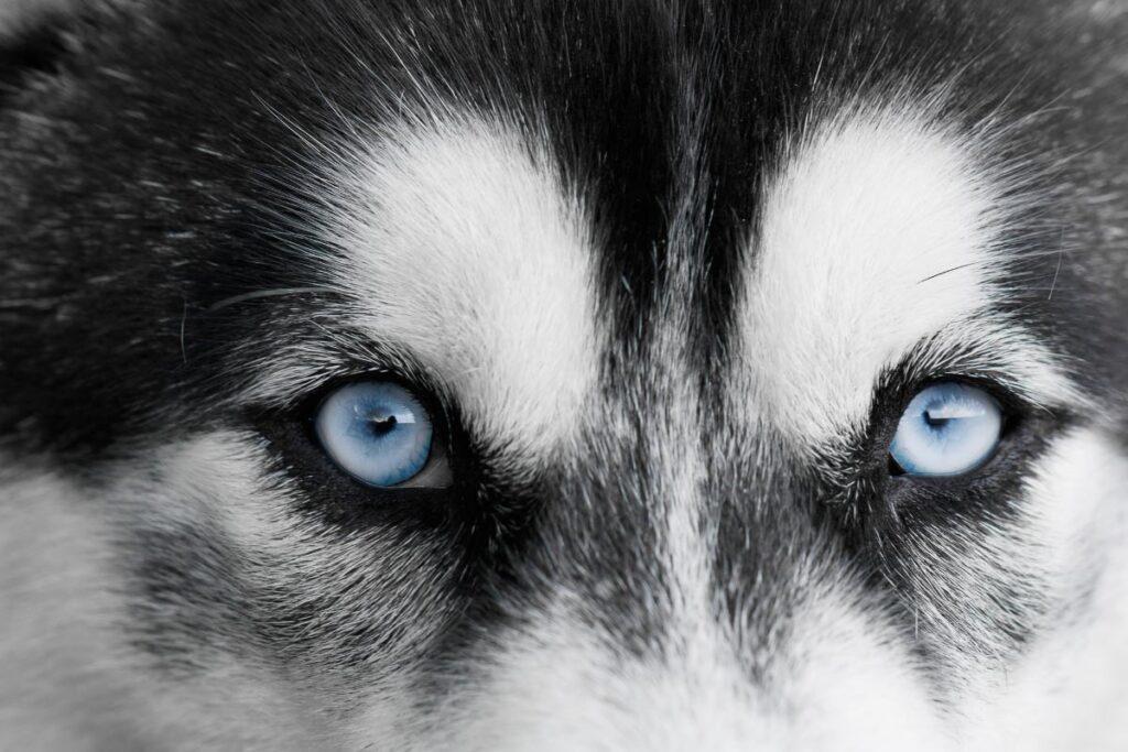 blue eyes of husky dog upclose