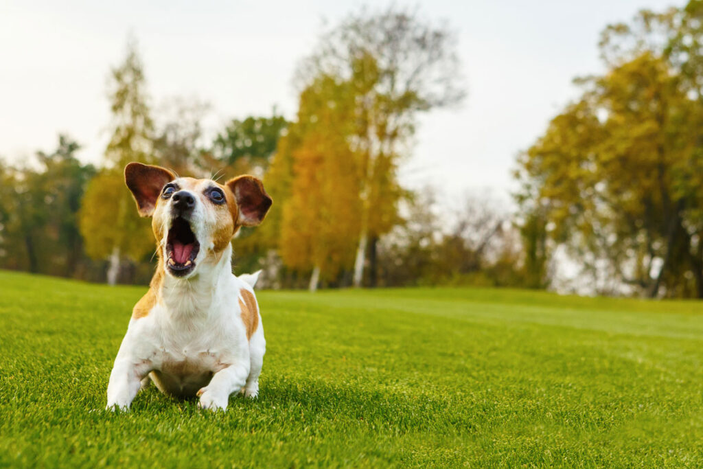 brown and white dog barking on lawn