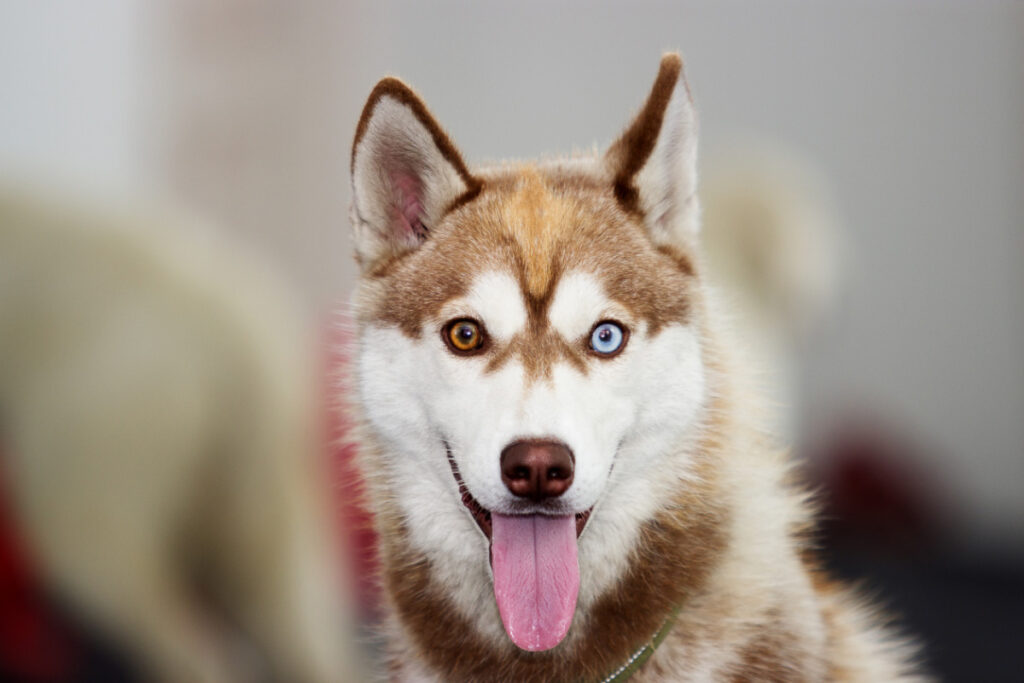 brown and white husky dog with different coloured eyes best dog food for huskies