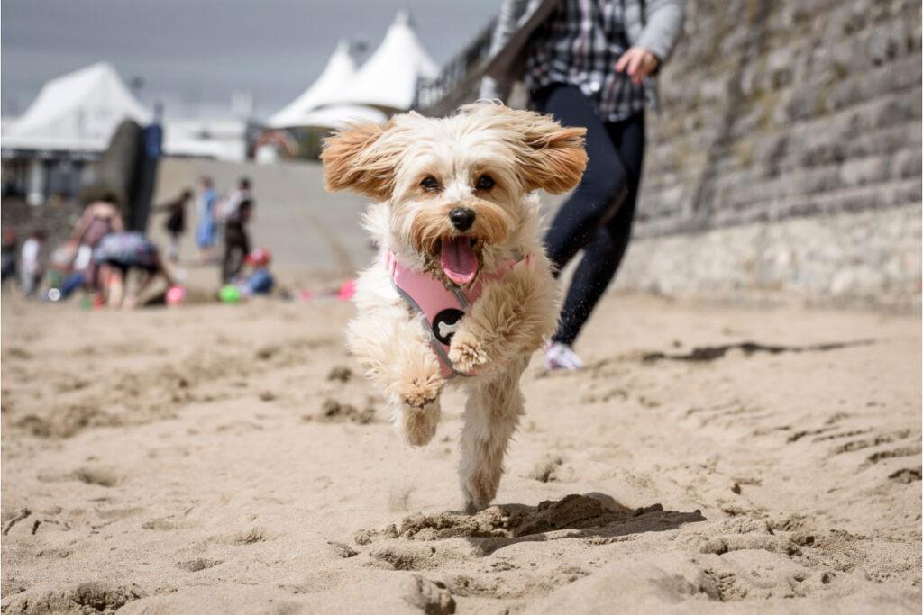 cavapoochon runs along the beach
