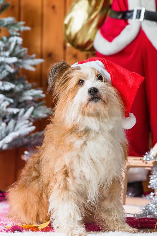 elo dog at christmas