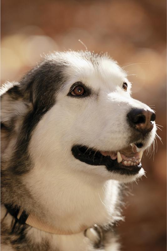 husky dog in profile