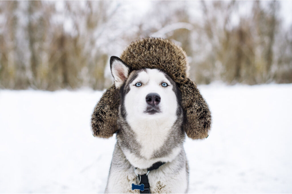 husky dog in the snow with silly hat