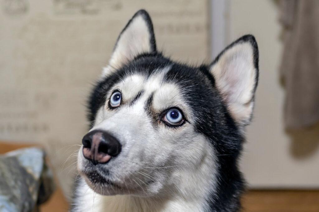 husky dog with blue eyes up close