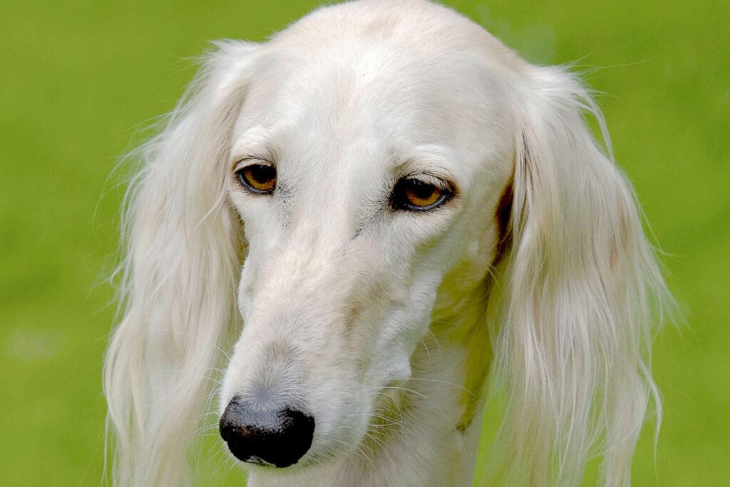 saluki big white dog breed