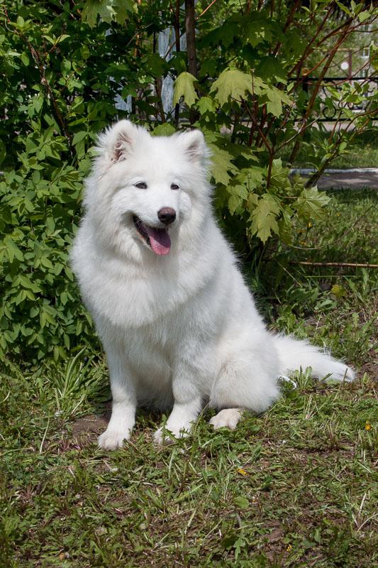 samoyed dog white