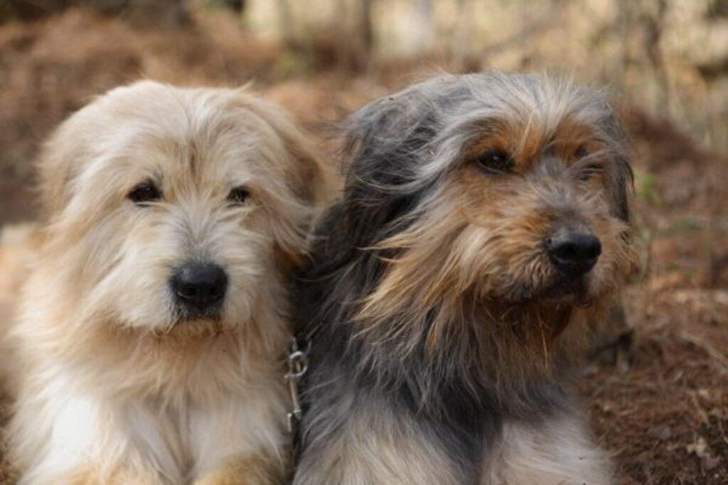 sapsali asian dog breeds