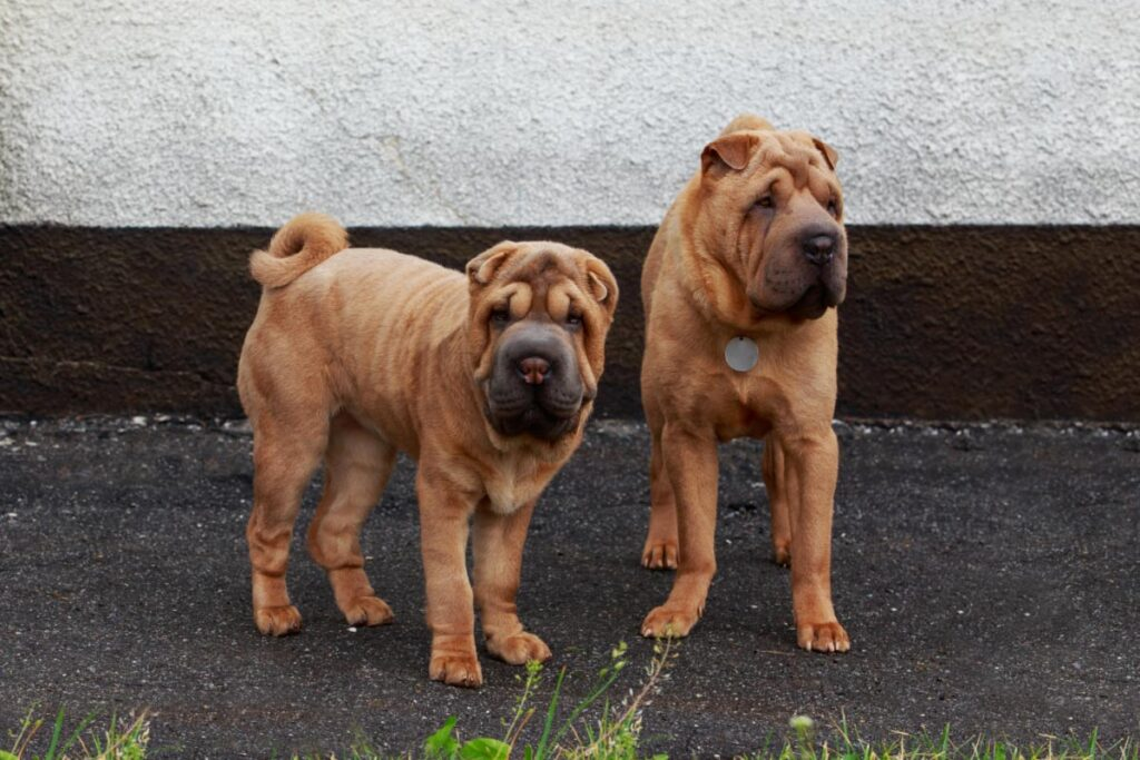 shar-pei brown dogs