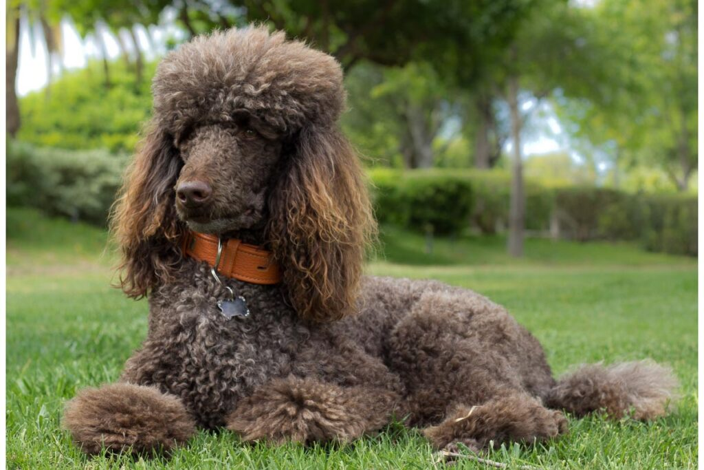 standard poodle brown