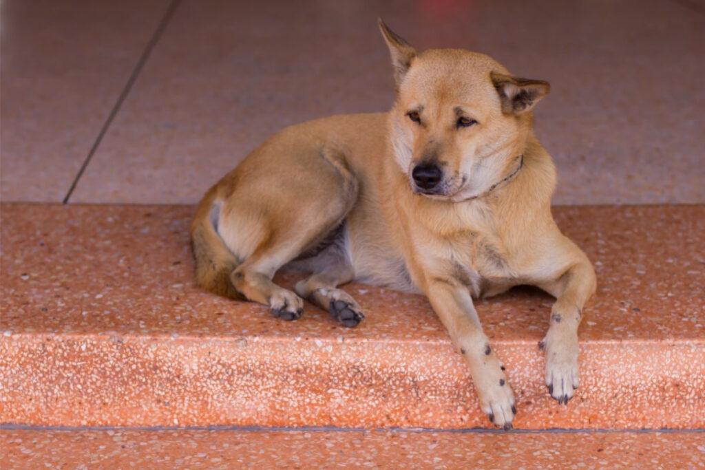 thai ridgeback brown dog