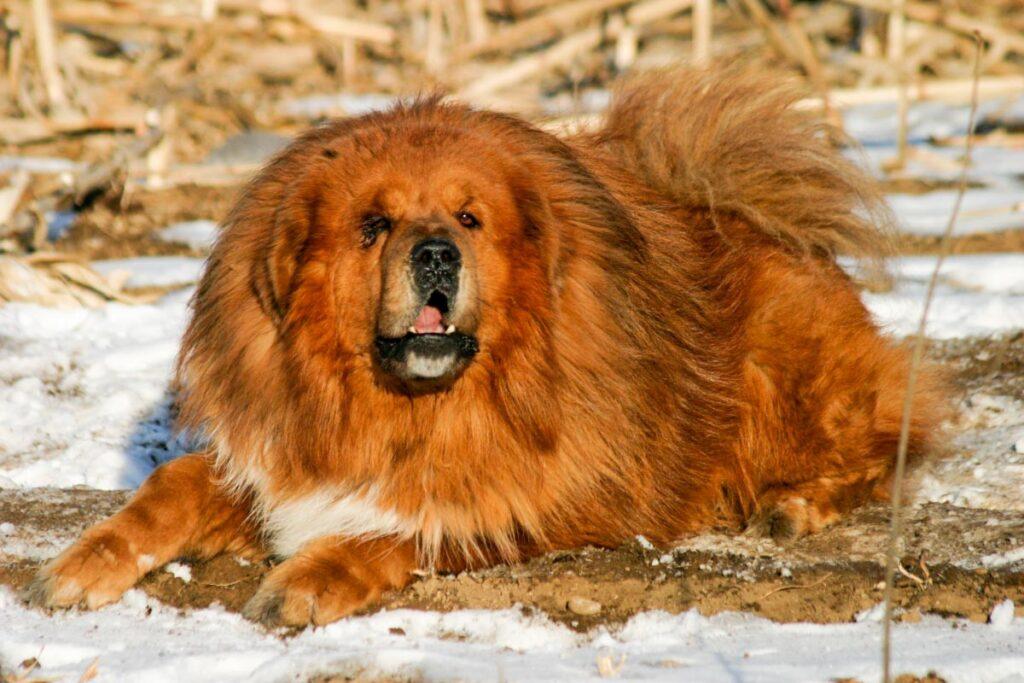 tibetan mastiff golden brown dog