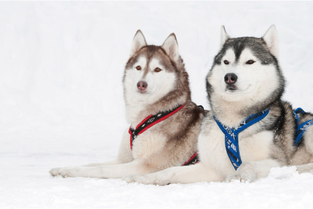 two husky dogs with leashes sit in the snow
