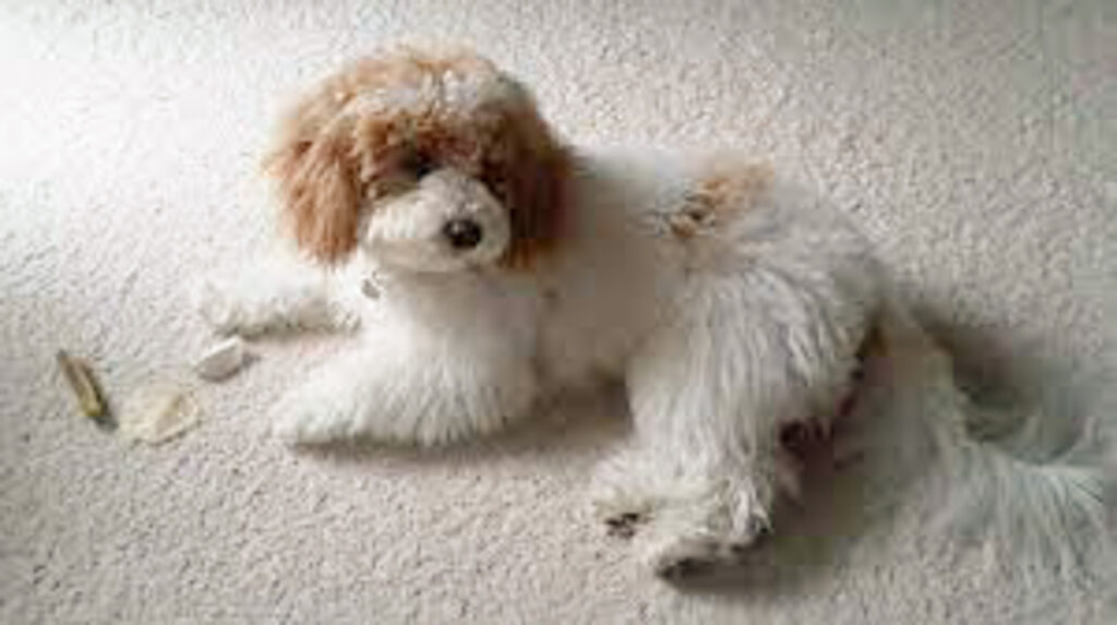 white and brown cavapoochon