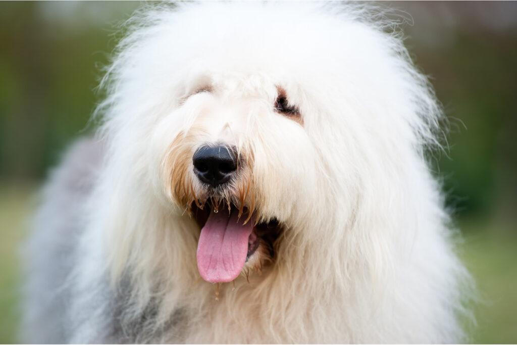 white old english sheepdog