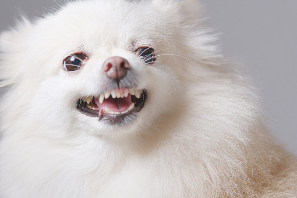 white pomeranian dog barking