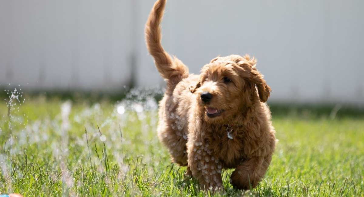 Everything You Need to Know About the Golden Mountain Doodle