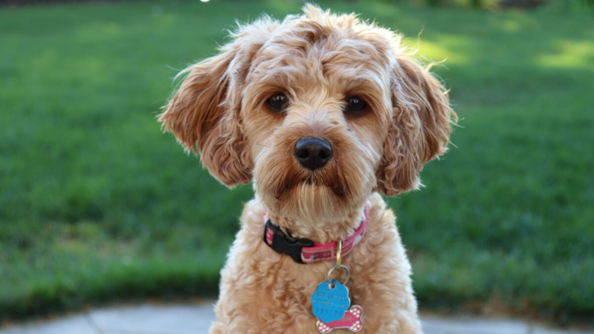 Everything You Need to Know About the Cavapoochon