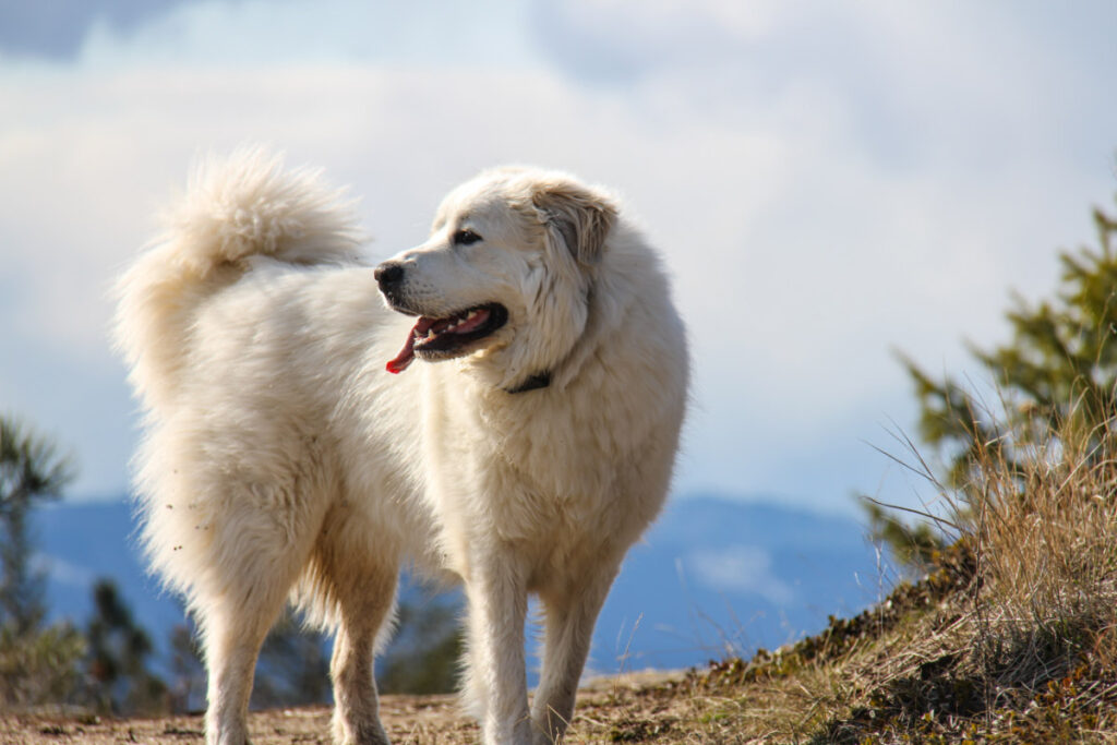 Great Pyrenees Mountain white big fluffy dog breeds
