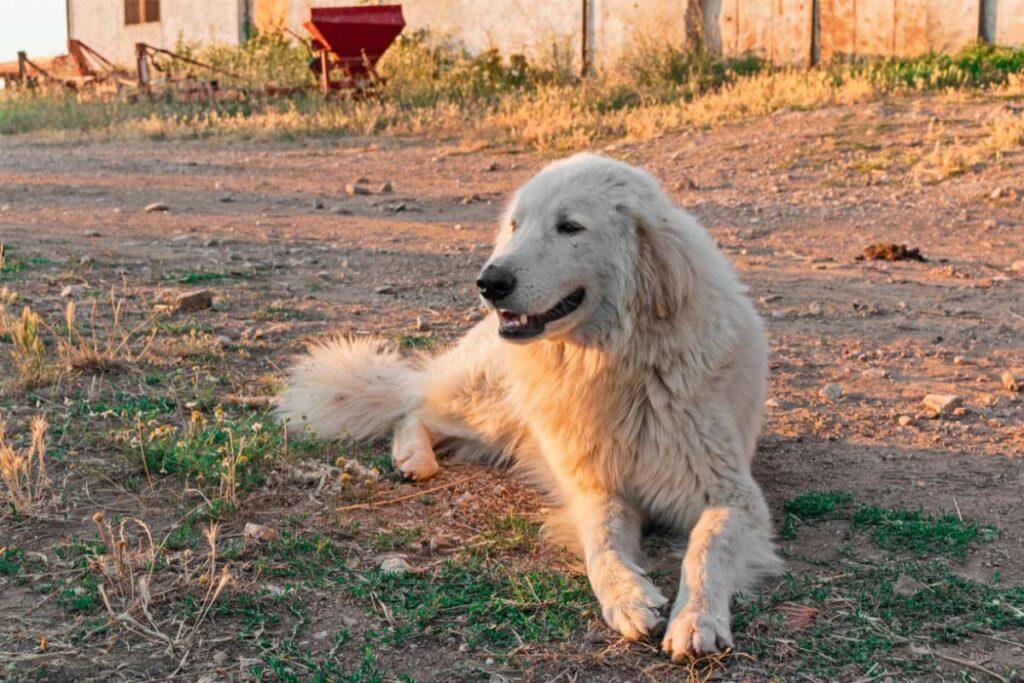 Maremma Sheepdog white