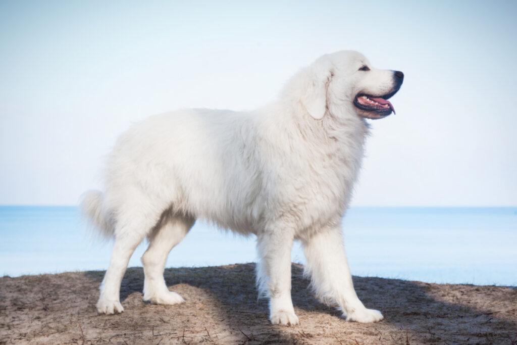 Polish Tatra Sheepdog white