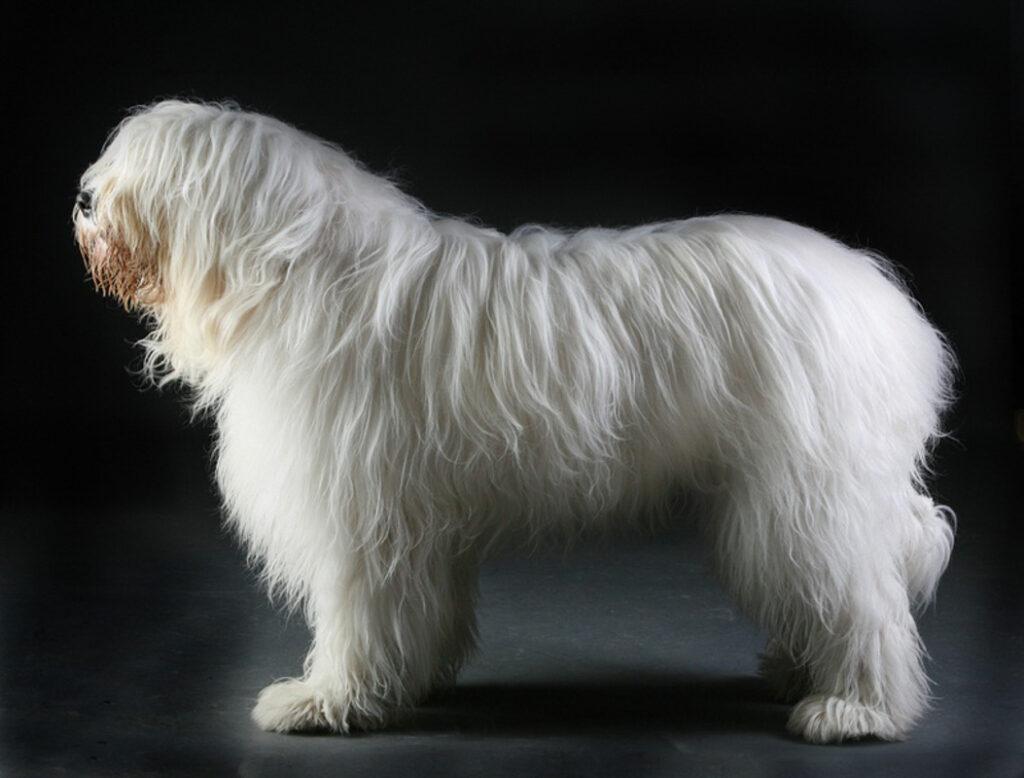 Ukrainian Shepherd Dog white