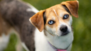 blue eyed dog breeds