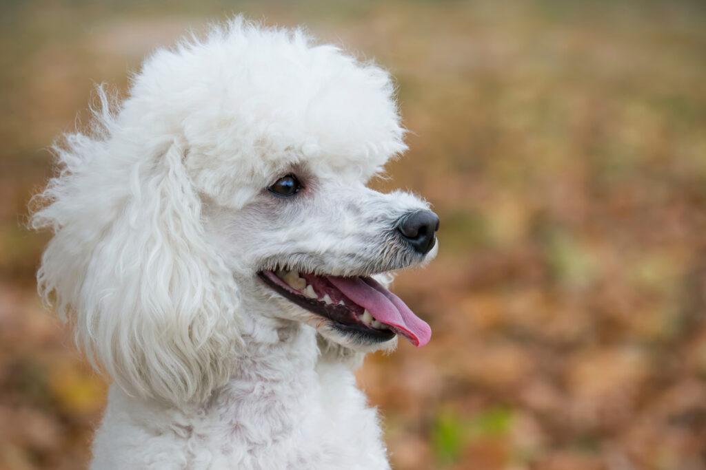 standard poodle white