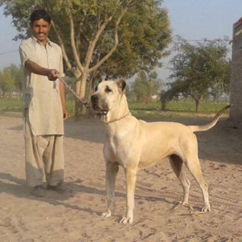 Alangu Mastiff